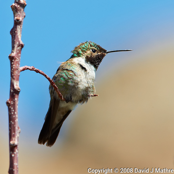 Male Broad-tailed Humming Bird at Lilly Lake in Rocky Mountain National Park. Image taken with a Nikon D3 and 70-200 mm f/2.8 VR lens + TC-E II 20 teleconverter (ISO 360, 400 mm, f/11, 1/400 sec). Raw image processed with Capture One Pro, Focus Magic, and Photoshop CS5. (David J Mathre)
