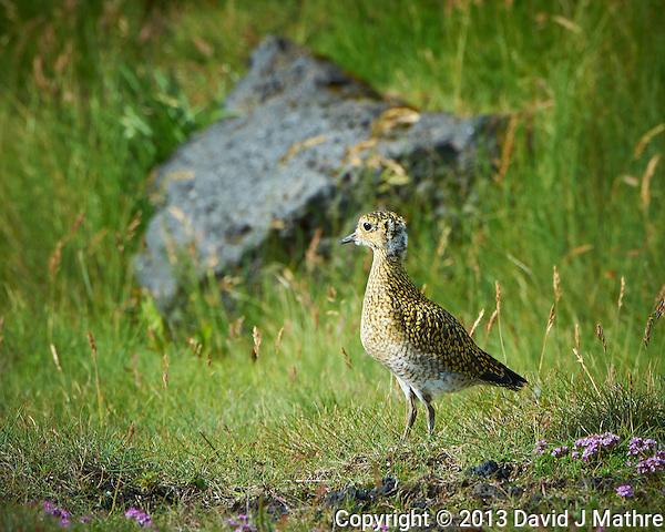 Juvenile European Golden Plover in Iceland. Image taken with a Nikon D4 camera and 80-400 mm VRII lens (ISO 360, 400 mm, f/11, 1/320 sec). (David J Mathre)
