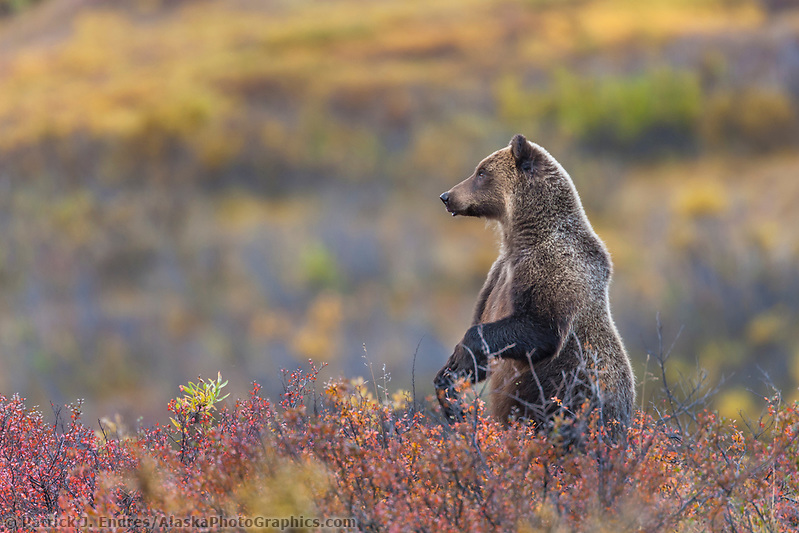 Grizzly bear stands up on its hind legs on the autumn colored tundra in Sable pass in Denali National Park Ⓒ Patrick J. Endres / AlaskaPhotoGraphics.com