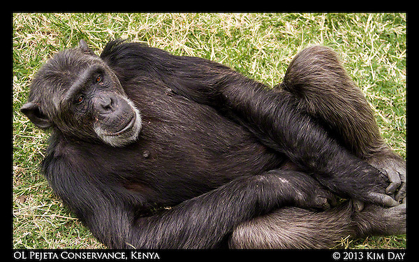 Chimpanzee Relaxing In Grass  Sweetwater's Chimpanzee Sancturary - OL Pejeta September 2012 - Kenya (Kim Day)