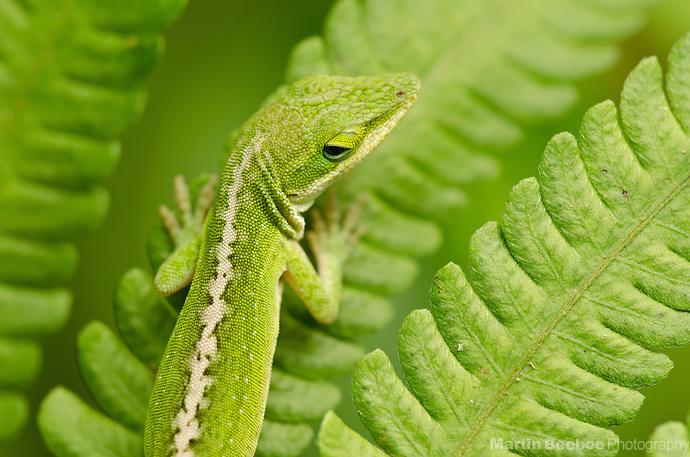Green Anole (Anolis carolinensis), Lihue-Koloa Forest Reserve, Kauai, Hawaii (Martin Beebee Photography)
