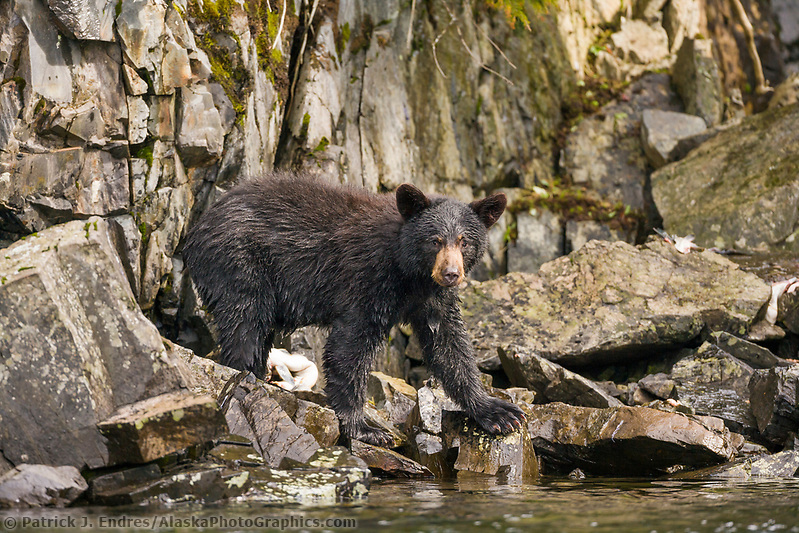 Black bear fishing for Pink salmon along a stream draining into the waters of Prince William Sound, Alaska. (Patrick J. Endres / AlaskaPhotoGraphics.com)