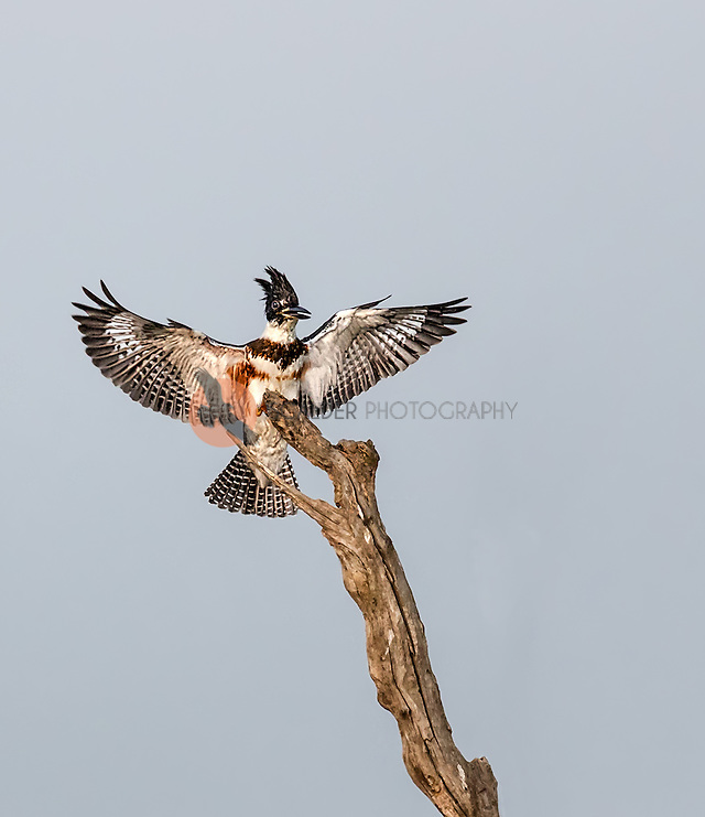 Belted Kingfisher landing on bare tree with wings out (SandraCalderbank, sandra calderbank)