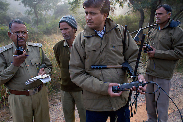 Mukhesh Saini (foreground), Assistant Field Officer, at Sariska National Park and colleagues including P.M. Sevda (right), Assistant Conservator of Forests use VHF receivers to track Sariska's two tigers, airlifted to the park from Ranthambore in June. Both cats wear transmitter collars. ..Sariska National Park in Rajasthan was once home to dozens of tigers but by 2005 poaching had resulted in their complete eradication. Recognising the urgent need for intervention, the Indian and Rajasthan-state governments began the reintroduction of tigers into Sariska. Two cats were airlifted 200 km from Ranthambore National Park in June 2008. On November 5th an attempt to relocate a third tiger was postponed until later in the month. This relocation strategy is certainly an important part of the tiger conservation effort but many, including those like Dharmendra Khandal of the NGO Tiger Watch, argue that it will never be entirely successful without properly confronting the three essential issues that threaten tiger populations: poaching, habitat loss and the hunting of prey-base animals. In turn, these three issues cannot be addressed without acknowledging the malign influence of caste, poverty and poor administrative accountability. Poaching is almost exclusively undertaken by extremely poor and marginalised groups, including the Mogia caste who, without education, land and access to credit have limited alternative means of income. Many in the Mogia community also hunt bush meat for both their own consumption and to sell to others. This results in a depletion of the prey-base upon which tigers feed. Encroachment and grazing by those including the Gujar people who raise dairy herds, have led to habitat loss in Sariska and other parks. To properly tackle the problem of hunting and encroachment, the government must provide alternative livelihoods for marginalised groups and relocate them to viable land before - rather than after - the re-introduction of tigers. Compounding all th (Tom Pietrasik)