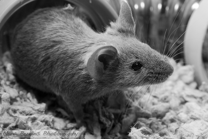 A gray male mouse checks what is beyond the safety of his plastic tube (visible in the background) . His hind legs are still in the tube, and he's stretching out his body to explore as far as he can. (Marc C. Perkins)