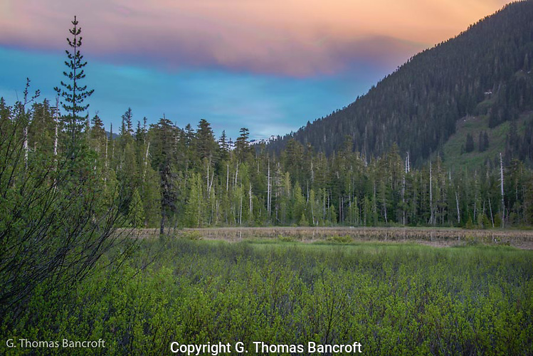The light turned blue after the sun dropped below the horizon.  This created a soft cast to the vegetation while pink continued to show on the clouds above.  Cascade frogs continued to call vigorously as we passed to darkness. (G. Thomas Bancroft)