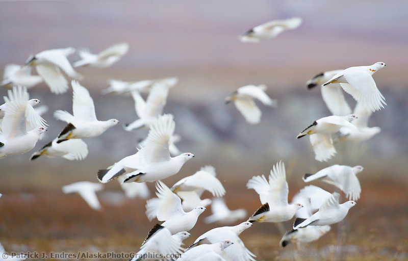 Flock of willow ptarmigan in flight on the arctic north slope, Alaska. (Patrick J. Endres / AlaskaPhotoGraphics.com)