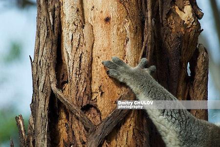 коала, Австралия