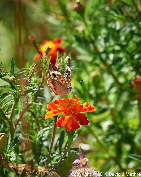 Common Buckeye butterfly on a Marigold flower. Image taken with a Nikon D5 camera and 80-400 mm VRII lens. (DAVID J MATHRE)