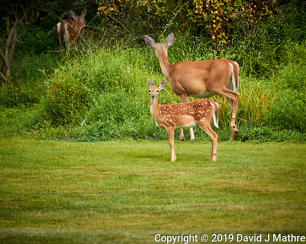 Fawn and Doe. Image taken with a Nikon 1 V3 camera and 70-300 mm VR lens (ISO 400, 300 mm, f/5.6, 1/400 sec) (DAVID J MATHRE)