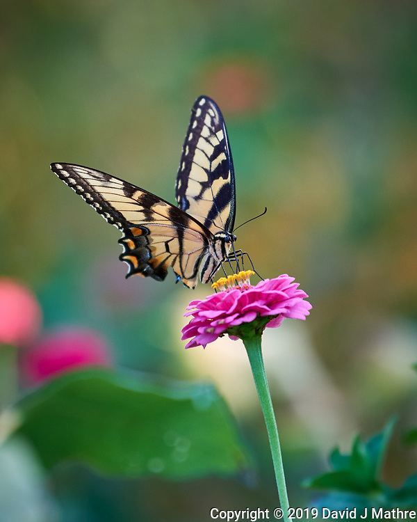 Eastern Tiger Swallowtail Butterfly. Image taken with a Nikon D810a camera and 70-300 mm VR lens. (DAVID J MATHRE)