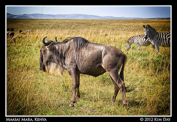 Wildebeest and Zebra.Maasai Mara, Kenya.September 2012 (Kim Day)