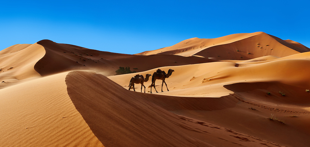 Camels amongst the Sahara sand dunes of erg Chebbi, Morocco, Africa (Paul E Williams)
