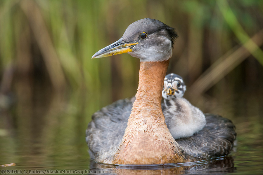 Alaska bird photos: Red-necked grebe and chick riding on the back, Flat lake, Alaska. (Patrick J. Endres / AlaskaPhotoGraphics.com)