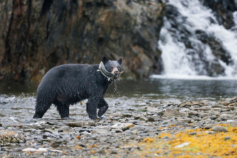 Black bear fishes for pink salmon in a stream along western Prince William Sound, Chugach National Forest, Kenai Peninsula, southcentral, Alaska. (Patrick J Endres / AlaskaPhotoGraphics.com)