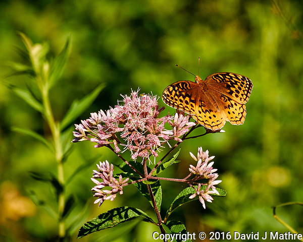 Great Spangled Fritillary on a Joe Pye Flower at the Sourland Mountain Preserve. Image taken with a Nikon 1 V3 camera and 70-300 mm VR lens (ISO 200, 183 mm, f/5,6, 1/640 sec). (David J Mathre)
