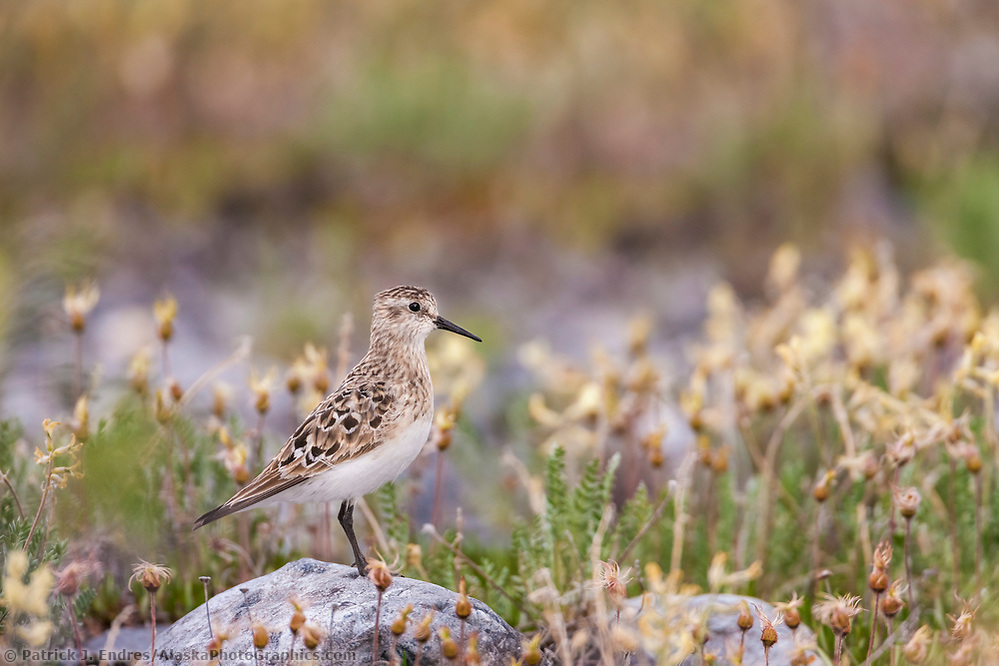 Semi-palmated sandpiper on the tundra in mt aven wildflowers going to seed, Arctic National Wildlife Refuge, arctic, Alaska. (Patrick J. Endres / AlaskaPhotoGraphics.com)