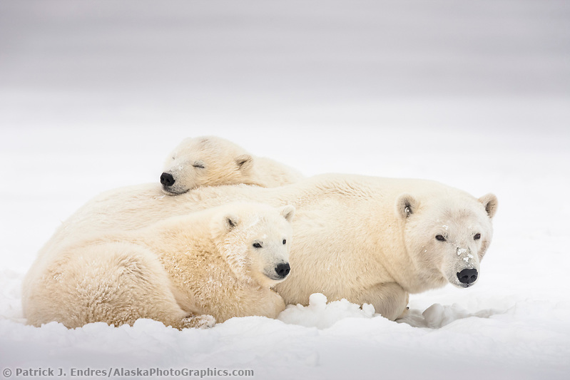 Polar bear sow and cubs relax in the snow on an island in the Beaufort Sea, Arctic, Alaska. (Patrick J. Endres / AlaskaPhotoGraphics.com)
