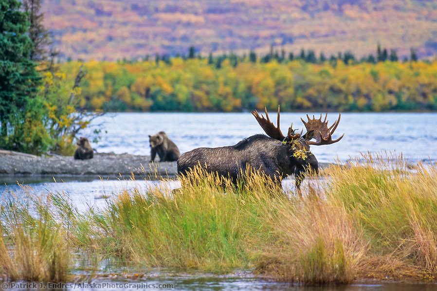 Brown bear sow and spring cub watch bull moose walk through Brooks river, Naknek lake, Katmai National Park, Alaska (Patrick J. Endres / AlaskaPhotoGraphics.com)
