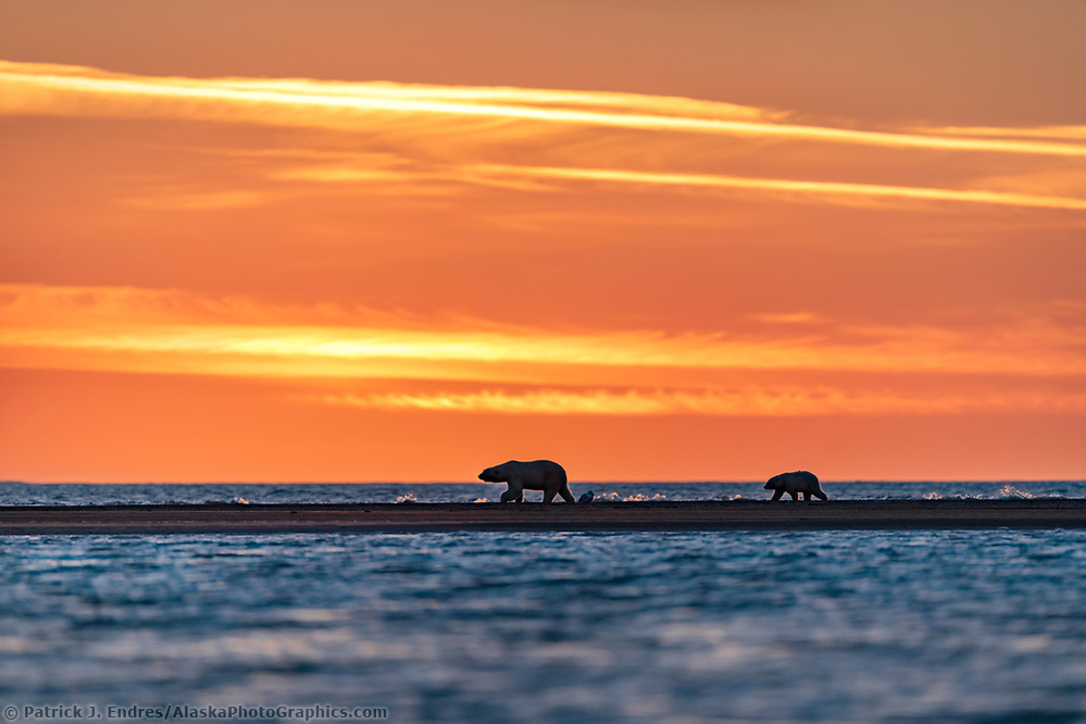 Polar bear sow and cub walk along a barrier island at sunset in the Arctic National Wildlife Refuge, Beaufort Sea, Arctic, Alaska. (Patrick J Endres / AlaskaPhotoGraphics.com)