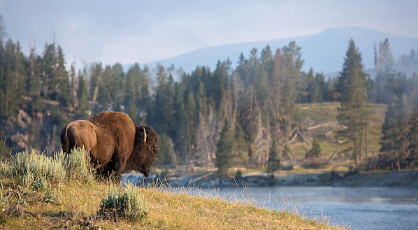 A lone bison bull stands silently along the banks of the Yellowstone River during the summer rut. This large bull has most likely bred  and is leaving the herd to once again lead his solitary existence. (Sandy Sisti)