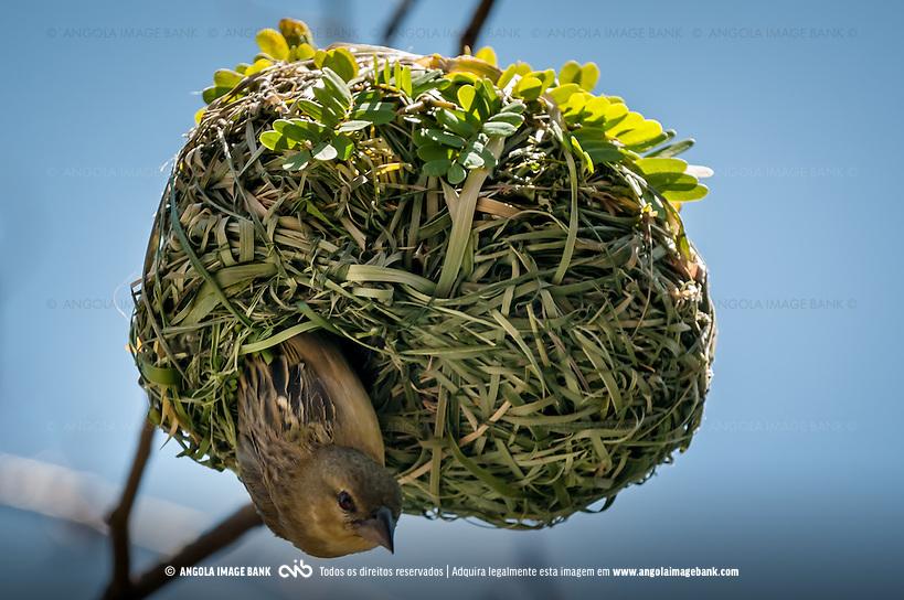 Tecelão, Tecelão-de-máscara, Tecelão-de-máscara-setentrional. A fêmea ao sair do ninho o qual foi sobmetido à inspeção exaustiva (Lat.: Ploceus velatus). Bengo, Angola (© Angola Image Bank/© Kostadin Luchansky | KODILU | Angola Image Bank)