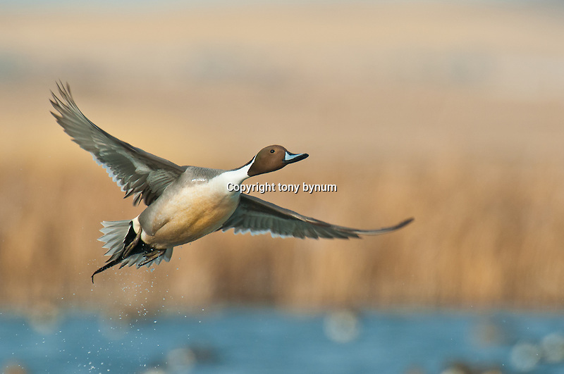 northern pintail drake single flying, taking off from water, (tony bynum)