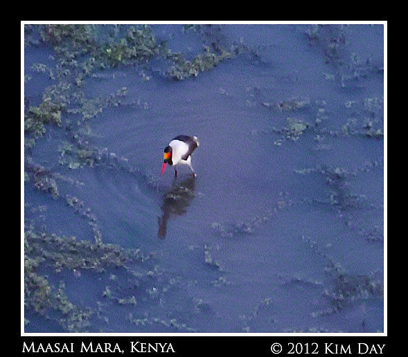 Saddle Billed Stork In Water Hole.Maasai Mara, Kenya.September 2012 (Kim Day)