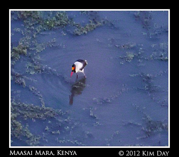 Saddle Billed Stork In Water Hole.Maasai Mara, Kenya.September 2012 (Kim Day)