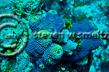 Branching Tube Sponge, Aiolochroia crassa, Leslie's Curl, Grand Cayman (Steven Smeltzer)