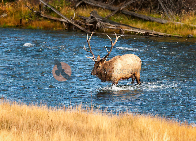 A Bull Elk crossing the river, approaching a cow during the rut (sandra calderbank)
