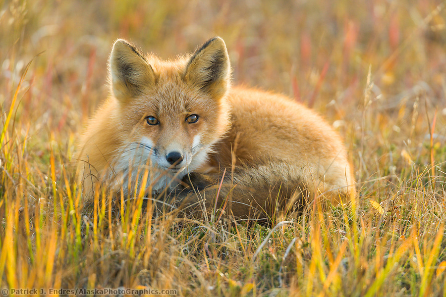 Red fox in the autumn grasses of wetlands on the Seward Peninsula, western arctic, Alaska. (Patrick J. Endres / AlaskaPhotoGraphics.com)