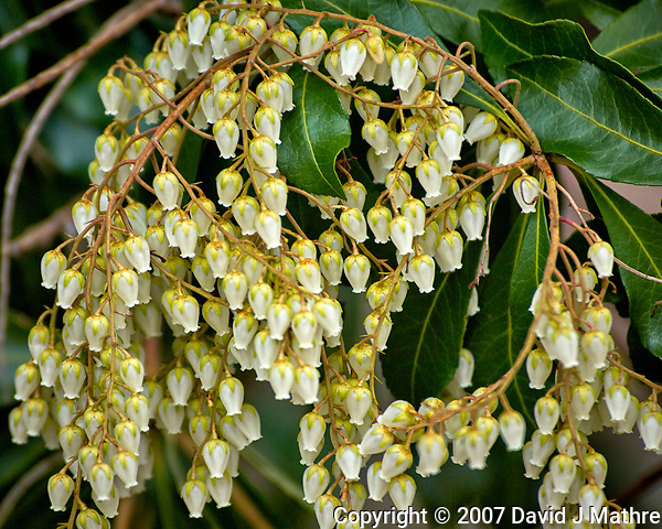 Cluster of Pieris japonica flowers. Also known as Lilly of the Valley shrub Early spring nature in New Jersey. Image taken with a Nikon D2xs camera and 80-400 mm VR lens (ISO 200, 400 mm, f/5.6, 1/160 sec). (David J Mathre)