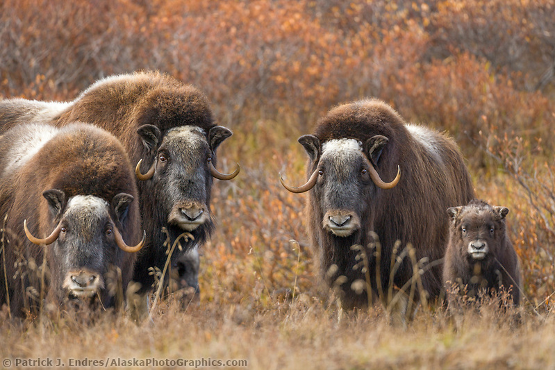 Muskox Cow and calf of the year on the tundra, Seward Peninsula, arctic Alaska. (Patrick J. Endres / AlaskaPhotoGraphics.com)