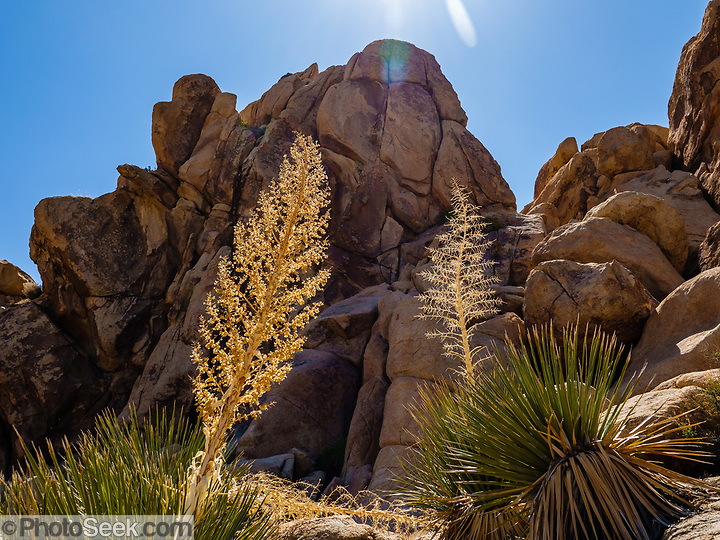 Parry's nolina ((Nolina parryi). Joshua Tree National Park, near Twentynine Palms, California, USA. The park straddles the cactus-dotted Colorado Desert and the Mojave Desert, which is higher and cooler. (© Tom Dempsey / PhotoSeek.com)
