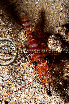 Candy Cane Shrimp Maui Hawaii.  Sheraton reef. (Steven Smeltzer)