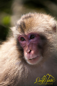 Macaque Monkey, Nishi Izu, Japan (Daryl L. Hunter/© Daryl L. Hunter)