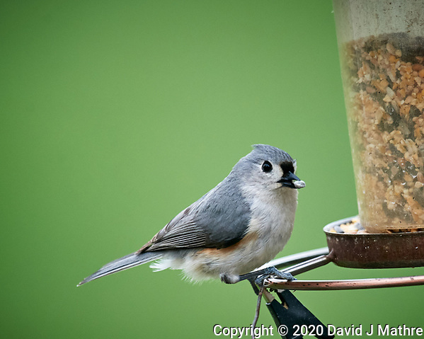 Tufted Titmouse. Image taken with a Nikon D5 camera and 600 mm f/4 VR lens (ISO 1600, 600 mm, f/5.6, 1/640 sec) (DAVID J MATHRE)