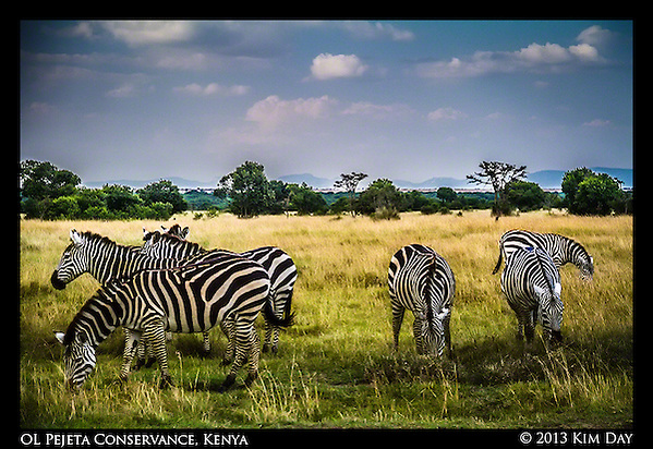 Grazing Zebra OL Pejeta Conservancy - Kenya September 2012 (Kim Day)