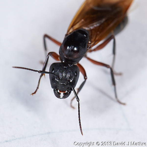 Flying Ant with the Jaws from Aliens. Indoor Spring Nature. Image taken with a Nikon D3s and 105 mm f/2.8 VR macro lens (ISO 200, 105 mm, f/16, 1/60 sec) with ring flash. (David J Mathre)