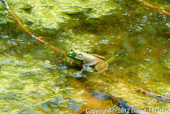 Bullfrog in a Pond at the Sourland Mountain Preserve. Summer Nature in New Jersey. Image taken with a Nikon 1 V1 + FT1 + 70-300 mm VR lens (ISO 200, 100 mm, f/5.6, 1/320 sec) and monopod. [FOV Equivalent to ~ 270 mm on a 35 mm image sensor] (David J Mathre)