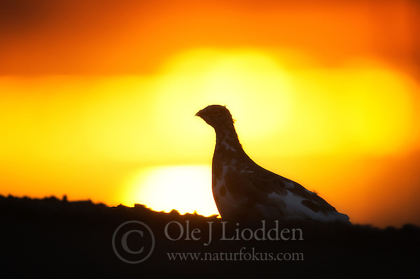 Svalbard Ptarmigan (Lagopus muta) in sunset (Ole Jørgen Liodden)
