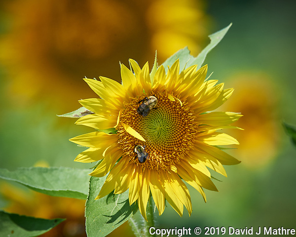 Pair of Bumblebees on a Sunflower. Image taken with a Nikon D5 camera and 200-500 mm f/5.6 VR lens (DAVID J MATHRE)