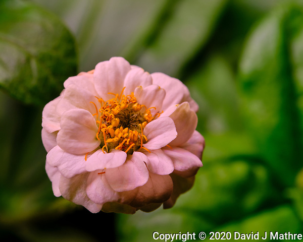 AeroGarden Farm 03-Right. Zinnia Bloom. Image taken with a Fuji X-T3 camera and 80 mm f/2.8 macro lens (ISO 200, 80 mm, f/8, 1/60 sec). (DAVID J MATHRE)