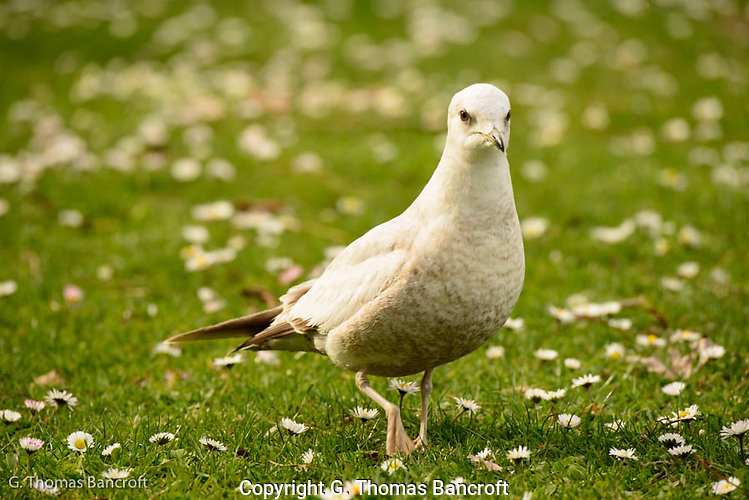 The Mew Gull turned and looked right at me before resuming its search for food in the grass. (G. Thomas Bancroft)
