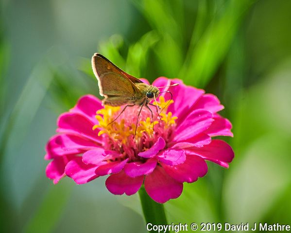 Skipper? butterfly feeding on a Zinnia flower. Image taken with a Nikon D850 camera and 300 mm f/2.8 VR lens + 2.0 TC-EIII teleconverter (DAVID J MATHRE)