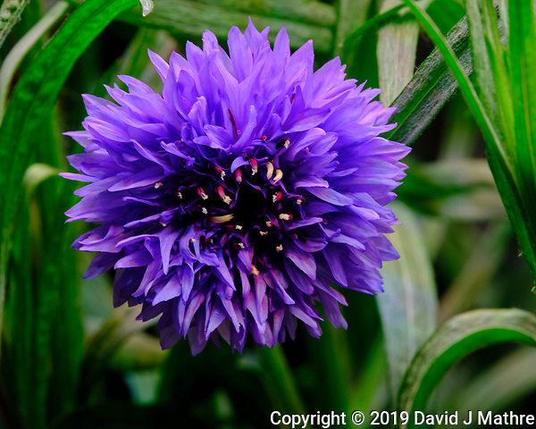 Purple Cornflower Flower. Image taken with a Fuji X-T3 camera and 80 mm f/2.8 OIS macro lens (ISO 160, 80 mm, f/16, 1/4 sec). (DAVID J MATHRE)
