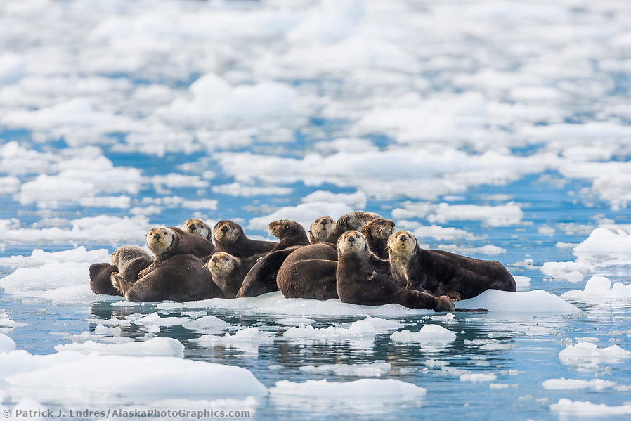 Sea otters hauled out on floating ice bergs, Harriman Fjord, Prince William Sound, southcentral, Alaska. (Patrick J. Endres / AlaskaPhotoGraphics.com)