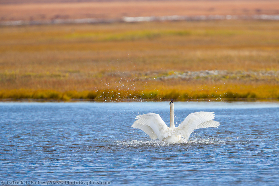 Tundra swan migrate through Solomon, Seward Peninsula, western arctic, Alaska, during the autumn migration. (Patrick J. Endres / AlaskaPhotoGraphics.com)