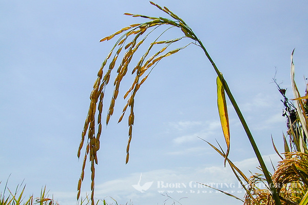 Bali, Badung, Seseh. Balis gold, a fully grown ricestraw. Rise is not only food, it is a very important part of the Balinese and Indonesian culture and history. (Photo Bjorn Grotting)